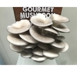 Mushroom Kit  -  Blue/Pearl (Pleurotus Ostreatus)  - FREE Shipping
