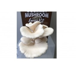 Mushroom Kit - White Oyster (Pleurotus Ostreatus) - FREE Shipping