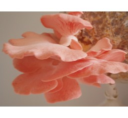 Mushroom grain master Spawn bag 2kg - Pink oyster   - FREE EXPRESS SHIPPING