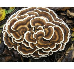 Mushroom Spawn Bag 2kg  Trametes versicolor  Turkey tail  - FREE SHIPPING