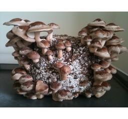 Mushroom Kit - Shiitake (Lentinula edodes) - FREE Shipping