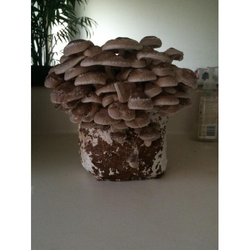 Mushroom grain master spawn Bag 2KG Shiitake 3782 made to
