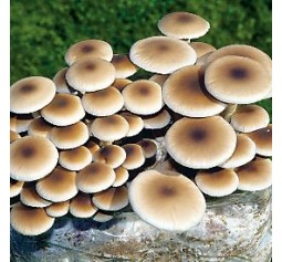 Mushroom Kit - Agrocybe Aegerita (Swordbelt - Black Poplar)  -  FREE Shipping